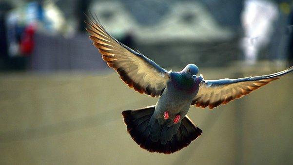 Pigeon, Flying, Bird, Wings Spread, Backlit, Backlight