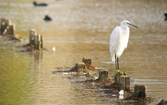 Nature, Birds, Egret, White, Water