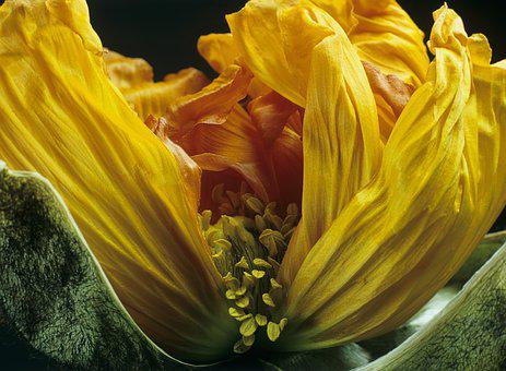 Poppy, Blossom, Bloom, Macro, Yellow Orange