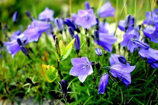 Flower, Blue, Nature, Ringtone, Macro, Blue Flower
