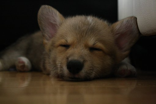 Sleeping, Corgi, Dog, Pet, Sleep, Cute, Canine, Breed
