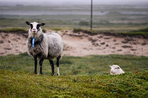 The Sheep, Sheep, Animals, Animal, Countryside, Pasture
