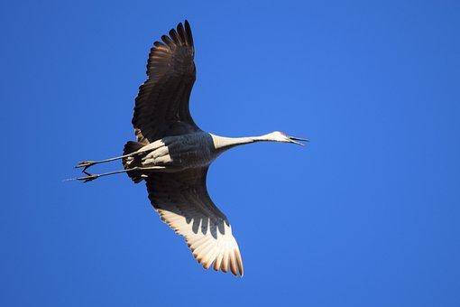 Sandhill, Crane, Flying, Bird, Beak, Squawk, Feather