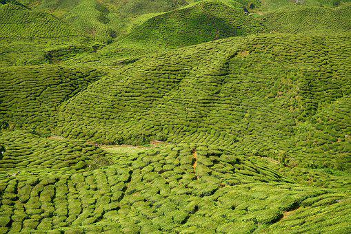 Green, The Tea Plantations, Field, Magnificent, Great