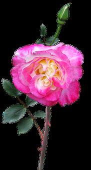 Rose, Stem, Flower, Double Delight