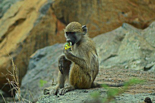 Vervet Monkey, Africa, Wildlife, Flowers, Nature