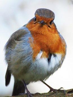 Robin, Grumpy, Fluffed, Bird
