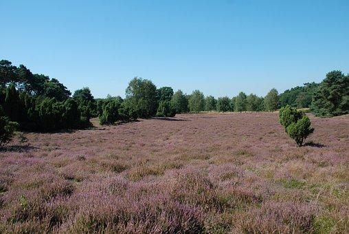 Heather, Heathland, Erika, Purple, Nature Reserve
