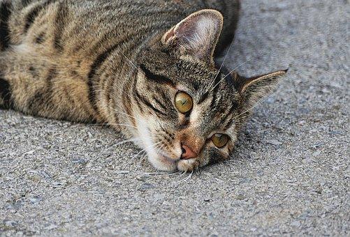 Tiger Cat, Close, Cat, Eyes, Domestic Cat, Mackerel