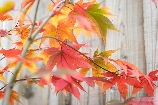 Japan, Japan Maple, Maple, Maple Leaf, Background