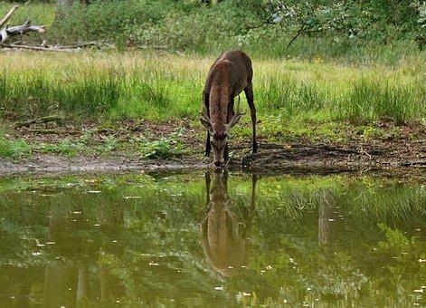 Hirsch, Mirror Image Deer, Deer Drinking