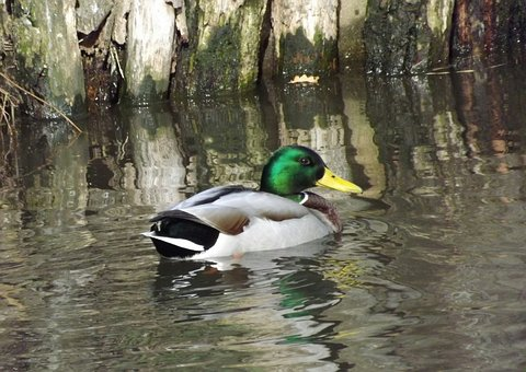 Duck, Drake, Colorful Feathers, Water Bird, Nature