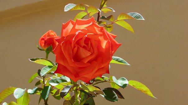 Rosebush, Rose Bush, Pink-orange, Rose, Flower, Nature