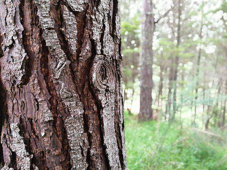 Trees, Bark, Nature, Grass, Forest, Pinetrees