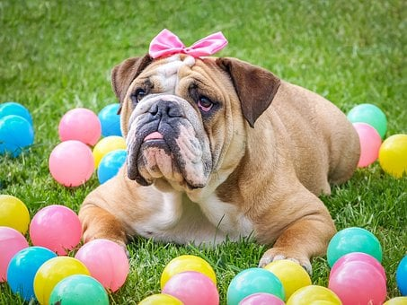 Bulldog, Cute, Easter, Animal, Dog, Hundeportrait, Pet