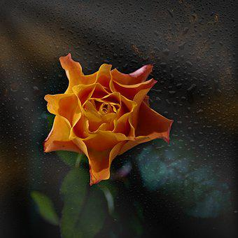 Rose, Orange, Flower, Nature, Blossom, Bloom, Plant