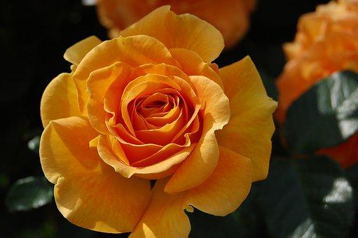 Rose, Summer, Blossom, Bloom, Garden Rose, Rose Blooms