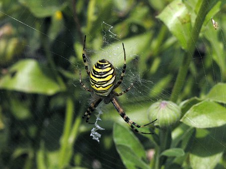 Spider, Zebraspinne, Close, Wasp Spider, Tiger Spider
