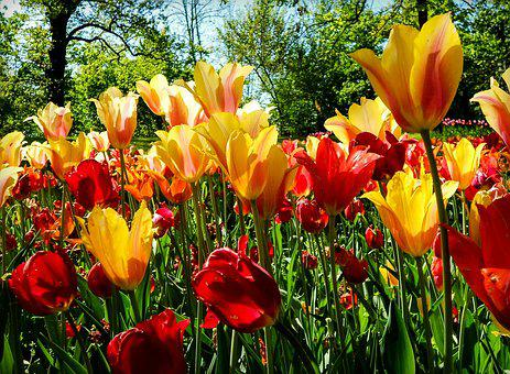 Flower, Flowers, Tulip, Tulips, Red, Yellow, Nature