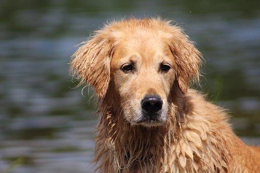 Dog, Wet Dog, Golden Retriever, Cute, Animal, Canine