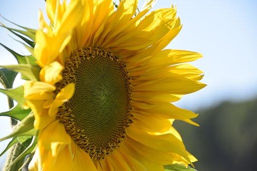 Sun Flower, Summer, Helianthos, Yellow, Blossom, Bloom