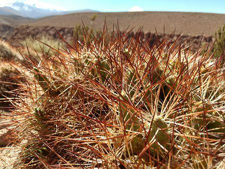 Atacama, Desert, Cactus, Chile