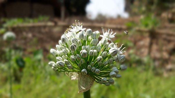 Onion Flower, Close Up, White Flower