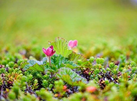 Cloudberry, Polish, Suomuurain