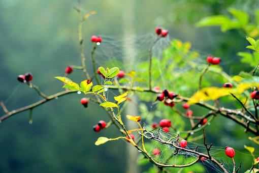 Wild Rose, Cobweb, Forest, Bush, Red, Plant, Flower