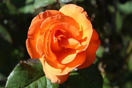 Orange, Rose, Garden