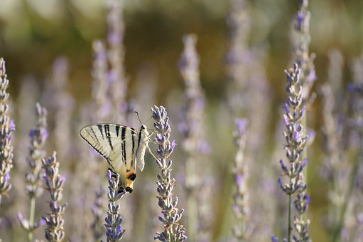 Nature, Italy, Tuscany, Butterfly, Lavender, Insect