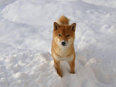 Japanese Spitz, Winter, Snow, Wintry, Shiba, Animal