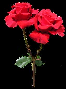 Red, Rose, Flower, Stem