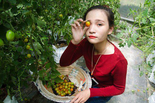 Agriculture, Tomatoes, Labor, Work, Girl, Results