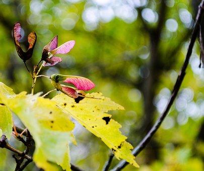 Maple, Flying Machine Wings, Block Fruit, Plant, Tree