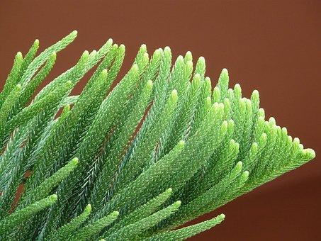 Branch, Needles, Distinctive, Araucaria Heterophylla