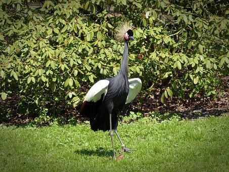 Black Grey Crowned Crane, Crane, Bird, Headdress