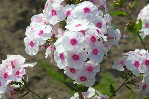 Phlox, Garden Phlox, Flower Garden, Blossom, Bloom