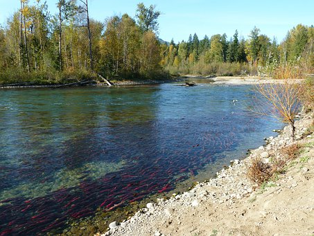 Sockeye, Salmon, Run, Adams River, British Columbia
