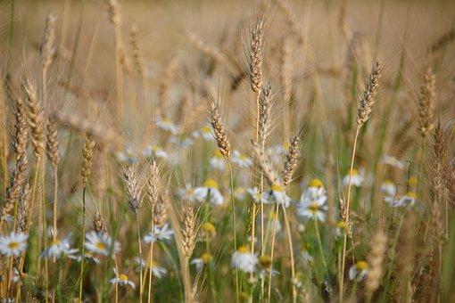 Wheat, Rye, Oats, Barley, Chamomile, Field, August