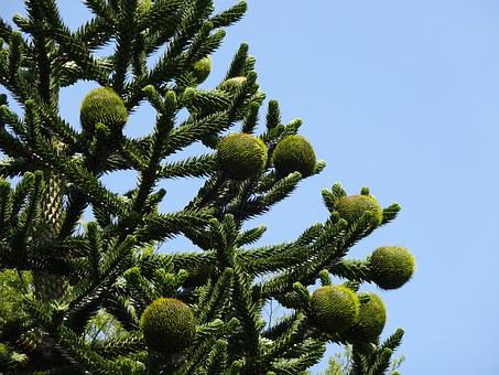 Monkey Puzzle Tree, Chilean Pine, Araucaria Araucana