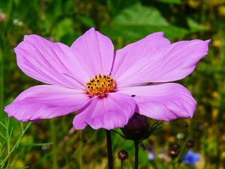Cosmea, Cosmos, Blossom, Bloom, Pink, Plant, Kosmee