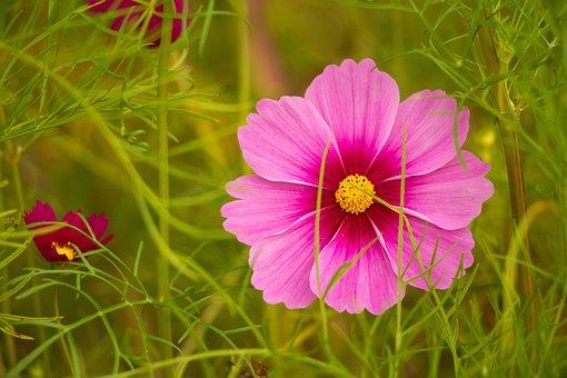 Pink Flower, Cosmos, Kosmee