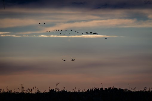 Birds, Cranes, Nature, Flying, Migratory Birds, Wing