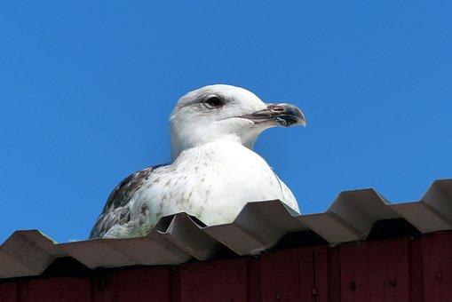 Bird, Seagull, Animal, Water Bird, Sea, Denmark, Laesoe