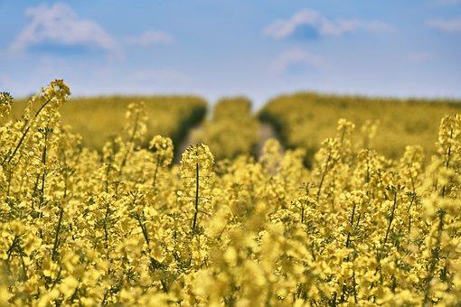 Field Of Rapeseeds, Field, Oilseed Rape, Coast, Cliff