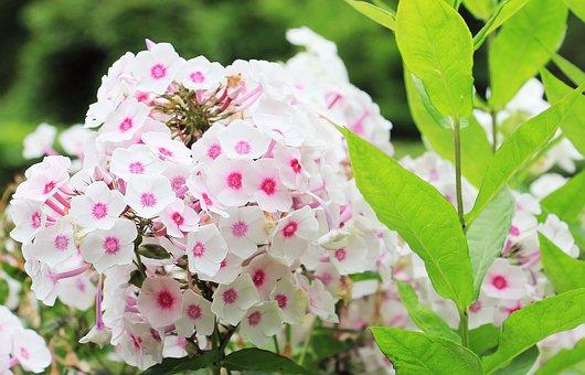 Phlox, Flame Flower, Flower, Ornamental Plant