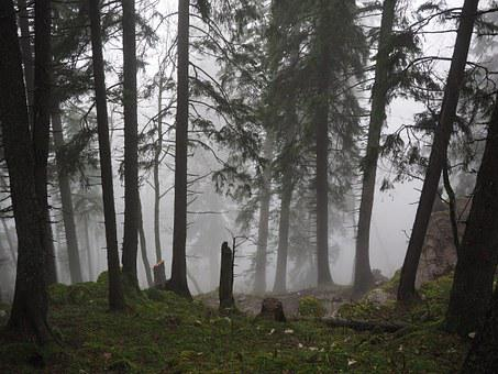 Storm Damage, Fir Forest, Firs, Fog, Forest, Trees