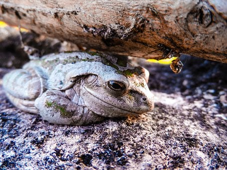 Cuban Tree Frog, Osteopilus Septentrionalis, Frog