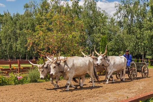 Hungarian Grey Cattle, Cart, Randall Tooth, Hungarian